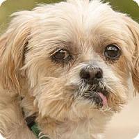 Shih Tzu Dog for adoption in Colorado Springs, Colorado - Genghis