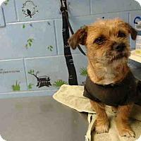 Norfolk Terrier Mix Dog for adoption in San Bernardino, California - URGENT on 10/6 SAN BERNARDINO