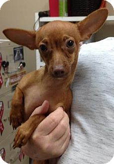 Chihuahua Mix Puppy for adoption in Centerville, Georgia - Maximilian