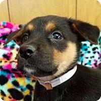 Adopt A Pet :: Aviva **FOSTER NEEDED** - New York, NY