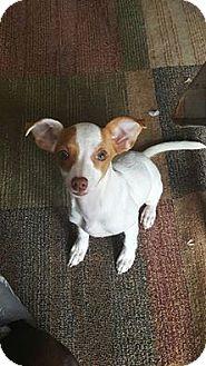 Chihuahua/Miniature Pinscher Mix Puppy for adoption in Windermere, Florida - Pria
