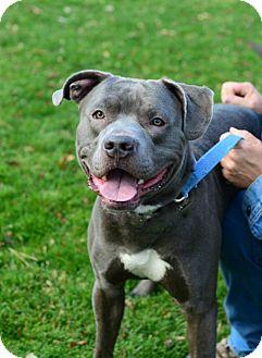 Boxer/Pit Bull Terrier Mix Dog for adoption in Gardnerville, Nevada - Boomer