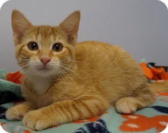 Domestic Shorthair Kitten for adoption in Verona, Wisconsin - Taffy
