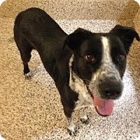 Australian Shepherd Mix Dog for adoption in Aiken, South Carolina - Braxton