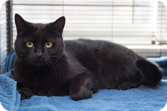 Domestic Shorthair Cat for adoption in Toronto, Ontario - Minx