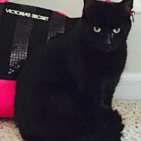 Domestic Shorthair Cat for adoption in Rochester, Michigan - Johnnie