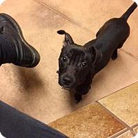 Adopt A Pet :: Holly - Philadelphia, PA