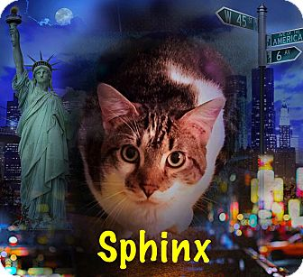 Domestic Shorthair Cat for adoption in Bedford Hills, New York - Sphnix