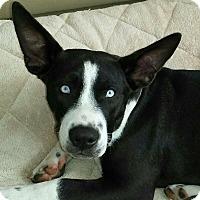 Adopt A Pet :: Kaya - North Haven, CT