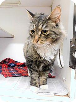 Domestic Longhair Cat for adoption in Tupelo, Mississippi - Grace- 101401j