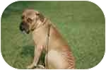 Bullmastiff Dog for adoption in Oviedo, Florida - Wallace