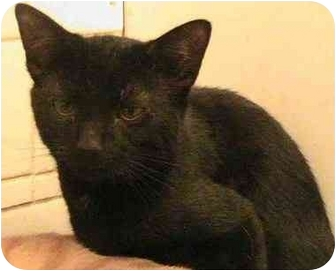 American Shorthair Cat for adoption in Forest Hills, New York - Blackie