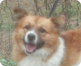 Sheltie, Shetland Sheepdog Mix Dog for adoption in Washington, D.C. - Ringo