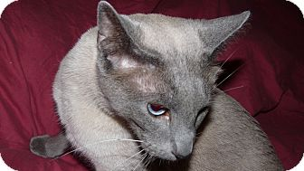 Siamese Cat for adoption in Bentonville, Arkansas - Stanley