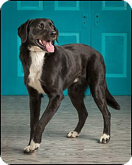 Labrador Retriever Mix Dog for adoption in Owensboro, Kentucky - Bentley