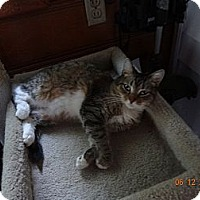 Domestic Shorthair Cat for adoption in Saint Albans, West Virginia - Karo