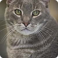 Domestic Shorthair Cat for adoption in Belton, Missouri - Chimi