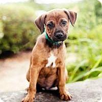 Adopt A Pet :: Ashton (Ash) - Peachtree City, GA
