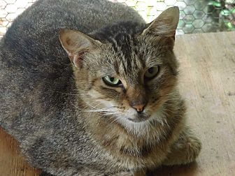 American Shorthair Cat for adoption in Floral City, Florida - Iowa