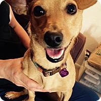 Adopt A Pet :: Kaley - San Francisco, CA