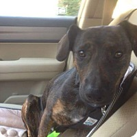 Adopt A Pet :: Schotzie - Buffalo, NY