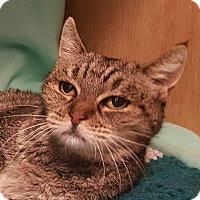 Adopt A Pet :: Dame Helen - Colorado Springs, CO