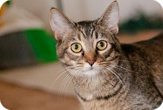 Domestic Shorthair Kitten for adoption in Santa Rosa, California - Lucy (Goose)
