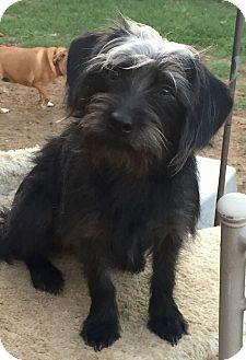 Terrier (Unknown Type, Small)/Schnauzer (Miniature) Mix Puppy for adoption in McKinney, Texas - Willie