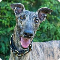 Adopt A Pet :: Denny - Seattle, WA