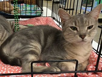 Domestic Shorthair Cat for adoption in Cocoa, Florida - Moonlight