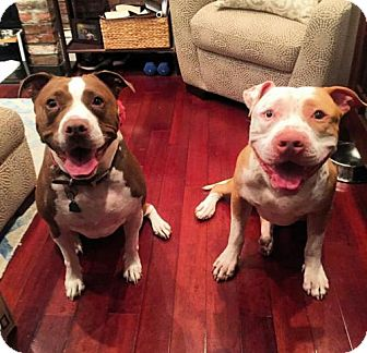 American Staffordshire Terrier Dog for adoption in Brooklyn, New York - Roman