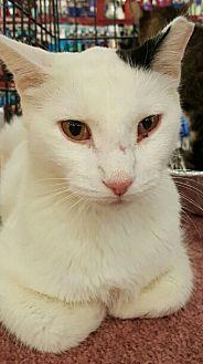 Turkish Van Cat for adoption in Lyons, Illinois - Templeton