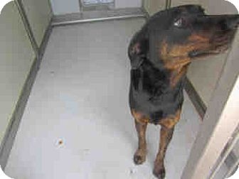 Doberman Pinscher Mix Dog for adoption in Newnan City, Georgia - Pumpkin