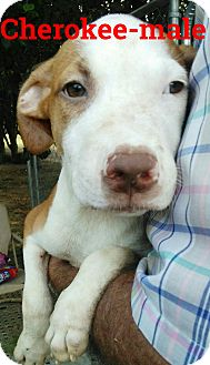 Catahoula Leopard Dog/American Pit Bull Terrier Mix Puppy for adoption in Albany, New York - Cherokee