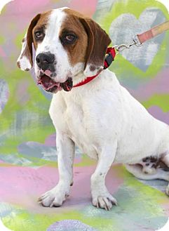 Basset Hound/Pointer Mix Dog for adoption in San Diego, California - Tarth