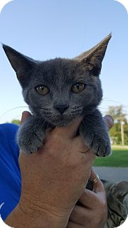 Manx Kitten for adoption in Florence, Kentucky - Elsa