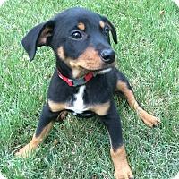 Adopt A Pet :: Max - Eden Prairie, MN