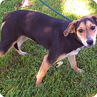 Beagle/Foxhound Mix Dog for adoption in Metamora, Indiana - Angel