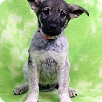 Adopt A Pet :: YARIN - Westminster, CO
