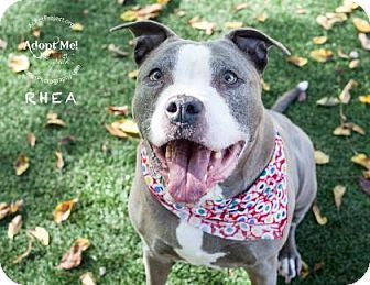 Pit Bull Terrier Mix Dog for adoption in Kansas City, Missouri - Rhea