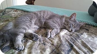 Domestic Mediumhair Cat for adoption in Hanover, Ontario - Misty