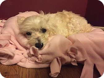 Maltese Mix Dog for adoption in Verona, New Jersey - Froggy