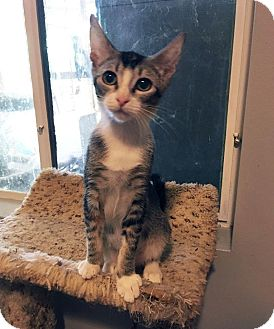 Domestic Shorthair Kitten for adoption in Mission Viejo, California - Louise