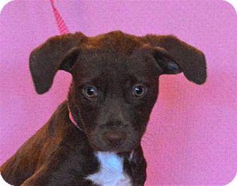Labrador Retriever Mix Puppy for adoption in Mukwonago, Wisconsin - **VIVIAN** MEET DEC 17TH!