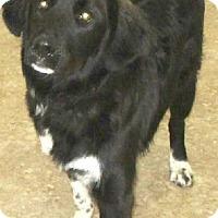 Bernese Mountain Dog Mix Dog for adoption in Clear Lake, Iowa - Samson