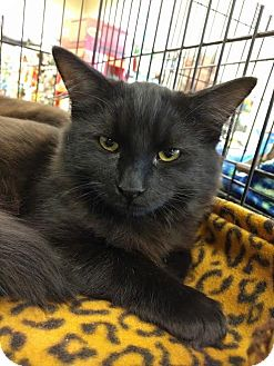 Maine Coon Kitten for adoption in Maryville, Tennessee - Otis & Omar