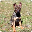 Adopt A Pet :: PUPPY STRYKER