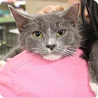 Adopt A Pet :: Mittens - Morganville, NJ