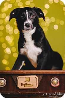 Border Collie/Labrador Retriever Mix Puppy for adoption in Portland, Oregon - Banjo