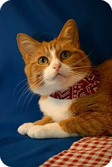Domestic Shorthair Cat for adoption in Marion, Wisconsin - Tawny
